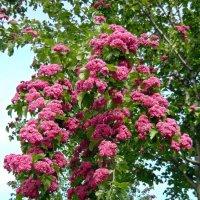 Цветущая ветка боярышника :: Вера Щукина