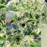вишня в цвету :: Tasha