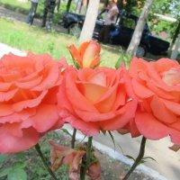 Соцветие роз :: Людмила Монахова