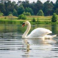 Одинокий лебедь :: Сергей и Ирина Хомич