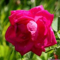 Роза в росе :: Андрей Заломленков