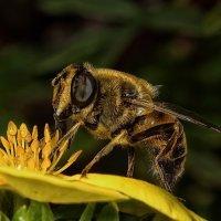Мух под пчел... :: Лина .