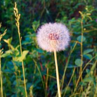 Пушистый цветок :: Владимир Звягин