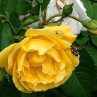 Розы из Выдубицкого монастыря Фото №14 :: Владимир Бровко