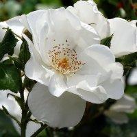 Розы из Выдубицкого монастыря Фото №17 :: Владимир Бровко