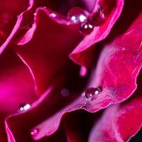Rose :: Евгений Рифиниус