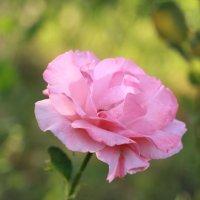 роза :: Ирина Гресь