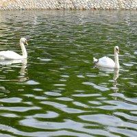 Лебеди в Лианозовском парке :: Сергей Ткаченко