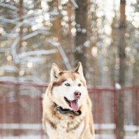 Siberian Husky :: Ekaterina Kuznecova
