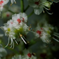 А как цветут каштаны? :: Юрий Морозов