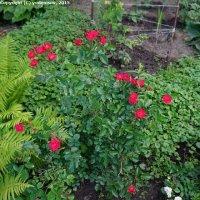 Куст декоративной розы :: Юрий А. Денисов