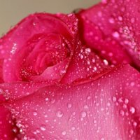 Роза :: Светлана Бабенкова