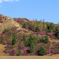 В мае горы на Алтае покрыты цветущим маральником :: Галина Шепелева