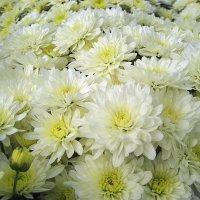 Белая хризантема :: laana laadas