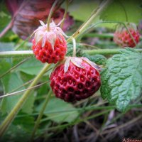 Сладка ягода :: Андрей Заломленков