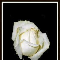 Роза :: Михаил Малец