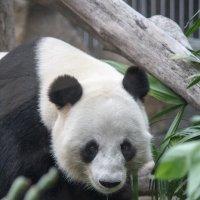 Панда :: Ekat Grigoryeva