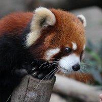 красный панда :: Ekat Grigoryeva