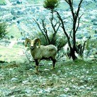 Встреча с архарами на вершине г.Махогани, Американ Форк, штат Юта :: Валерий Жданов