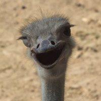 Подмигивающий страус :: Владимир Тихонов