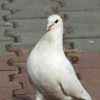 Царь голубей :: Михаил Барамович