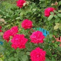Розы с дождём :: M Форман