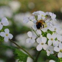 пчелка:-) :: Виолетта Тибилова