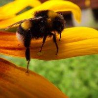 пчёлка :: valeriy g_g