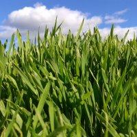 пшеничка :: Svetlana Kosinova