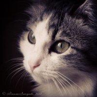 Портрет кошки [IV]. Руслана :: PersONA Incognito