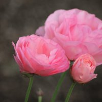 Розы :: Любовь Шахгильдян