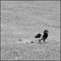 ворона :: DR photopehota