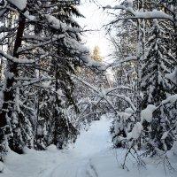 Зимний лес :: Алексей Пахомов