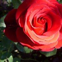 Прекрасная роза :: Ксения Савотина