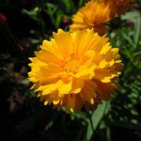 Маленькое солнышко :: Ксения Савотина