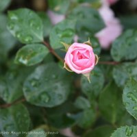 Роза :: Анна Мухамедзянова