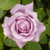 сиреневая роза :: Наталья Клян