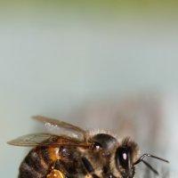 Пчёлка Майя :: Наталья Плотникова