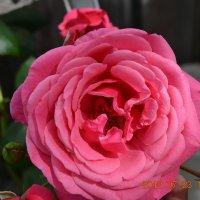 роза :: foto kto