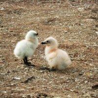 Птенцы чайки :: Александр Коробко