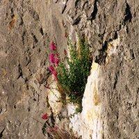 Цветы на скалах :: Ольга Иргит