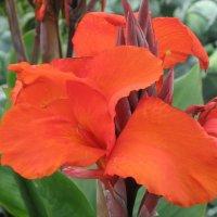 муромские цветы :: Роза Троянская
