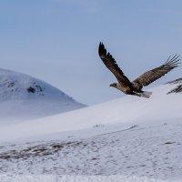 Орлан-белохвост. :: Юрий Харченко