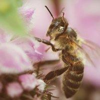 Пчела :: Анна Рахимова