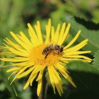 Пчелка :: Вера Минаева