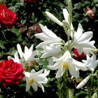 Красное и белое... :: Тамара (st.tamara)