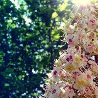 Вот так цветёт каштан... :: Наталья Изма