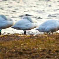 Лебеди :: Александр Носов