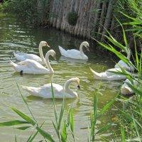 Лебеди :: Вера Щукина