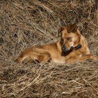 Собака на сене. :: Shapiro Svetlana